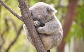 "Find out what experts mean when they say, ""Koalas are Functionally Extinct"""