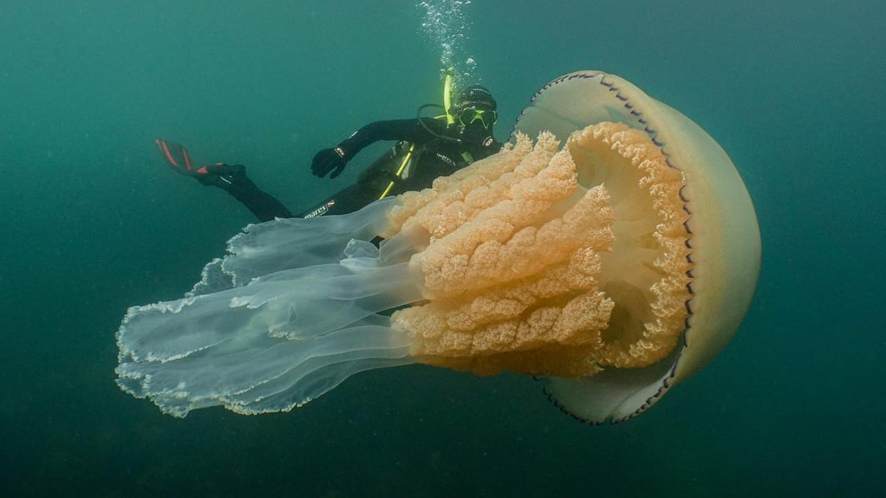 Cornwall divers spot Monster Jellyfish 'as big as human'